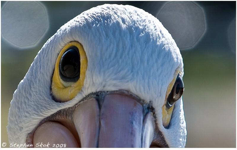 pelican Sorrento winter Australia