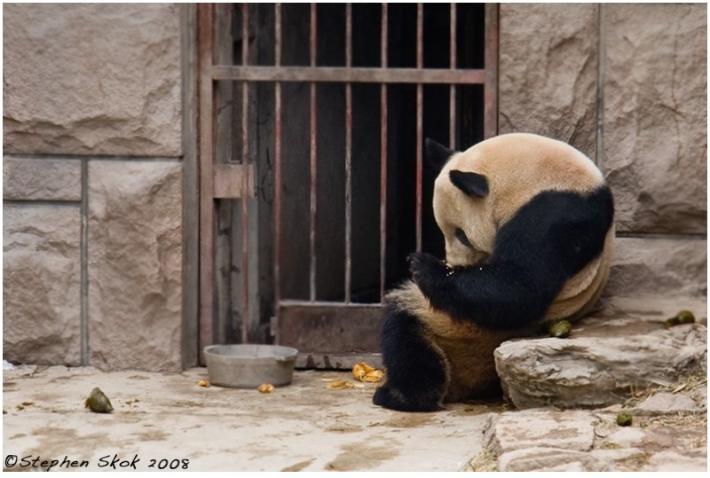 china beijing panda