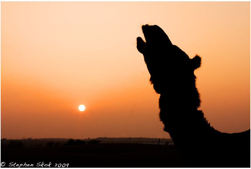 Jaisalmer Rajasthan india camel desert