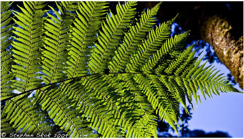 tree fern Otways Victoria Australia Mait