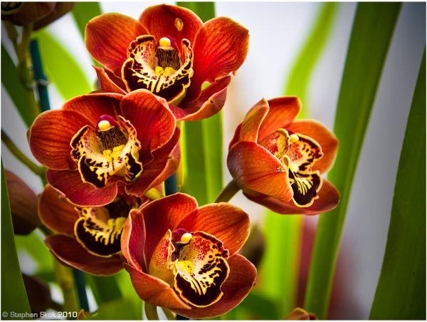 Brown' orchids St Kilda Photowalk