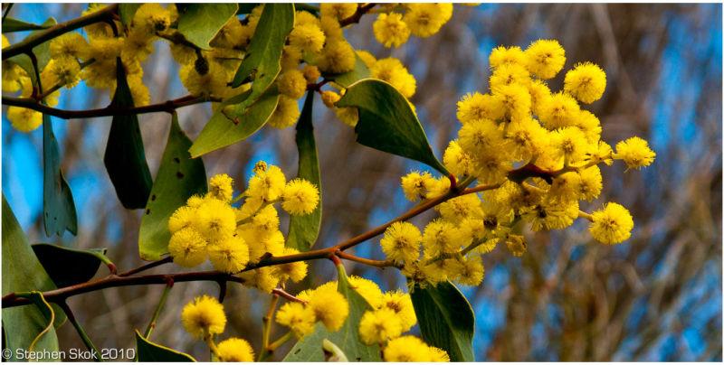 Winter Wattle Airyes Inlet Australian flora