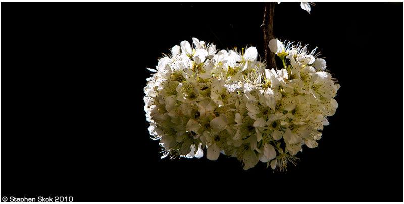 spring blossom australia flora