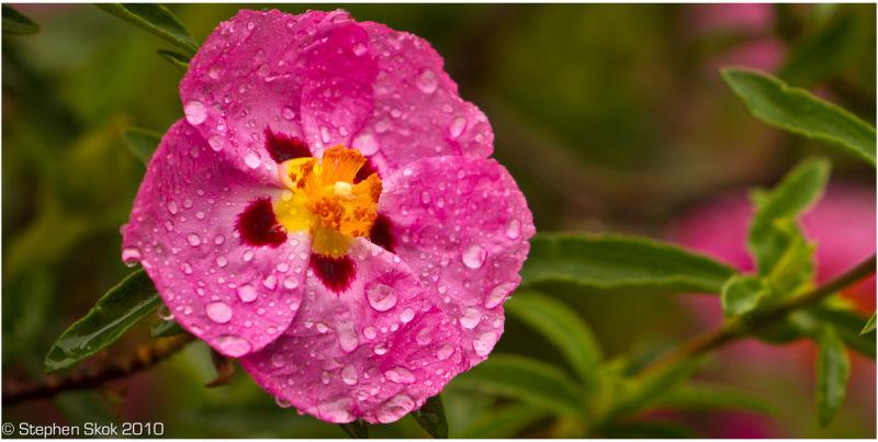 Rain Spring flower