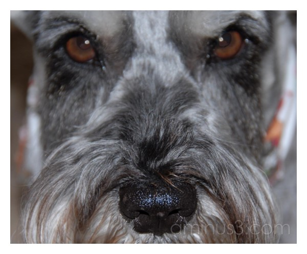 My Schnauzer Knows...