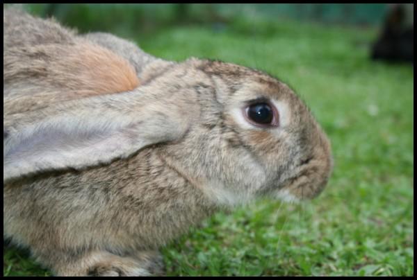 Floppy Ear-ed Rabbit