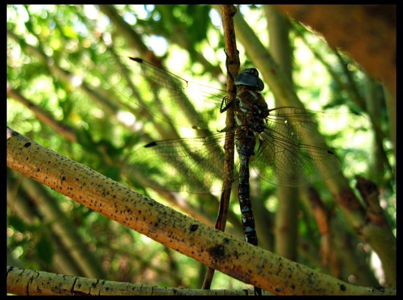 Woodland Fairy Dragonfly