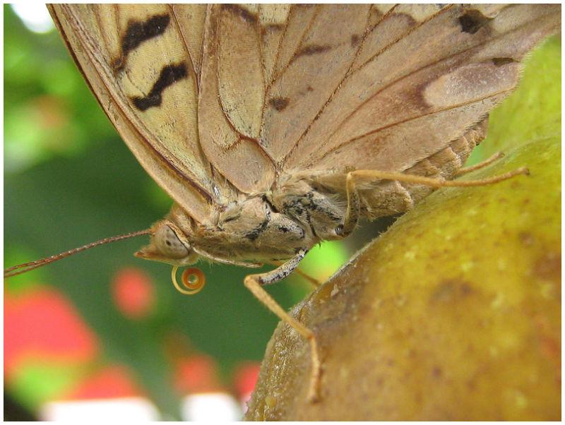 Moth/Butterfly feeding on a fig