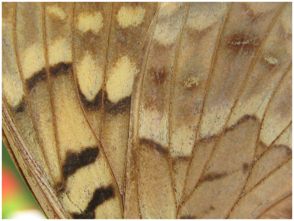 Moth/Butterfly wing