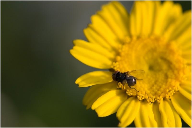Macro of a fly on a daisy