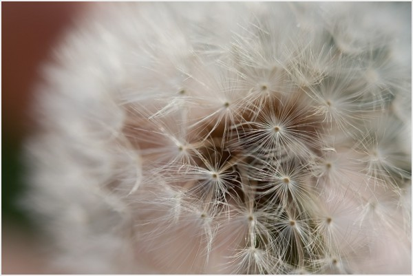 Macro of a dandelion