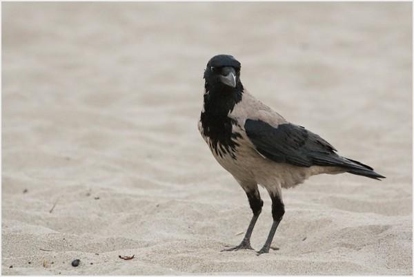 Corvus corone cornix in San Rossore's beach.