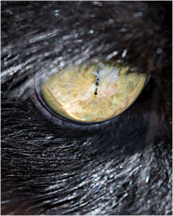 Macro of a cat's eye