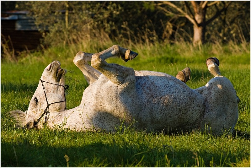 Playful horse rolling on the  grass