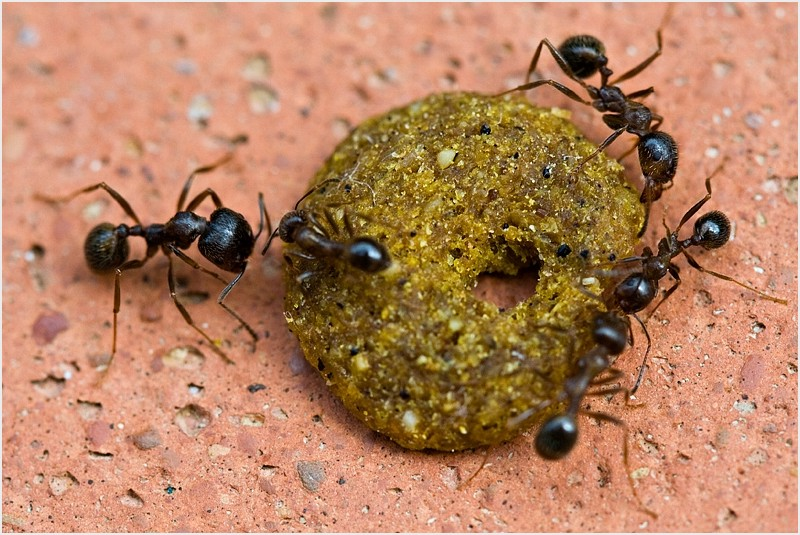 Ants eating a cat chow