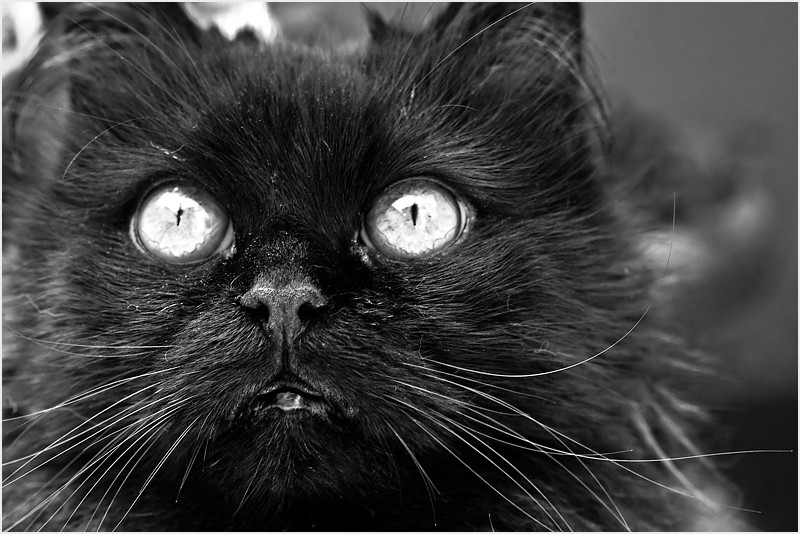 Black and White cat portrait
