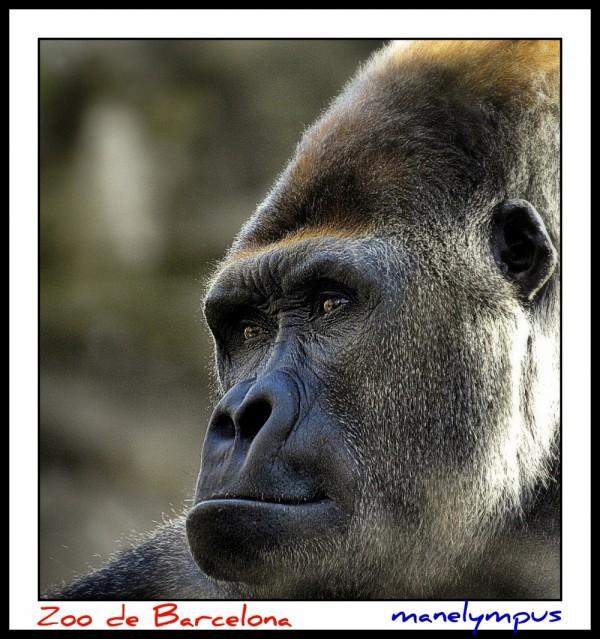 Gorila / Gorilla #1