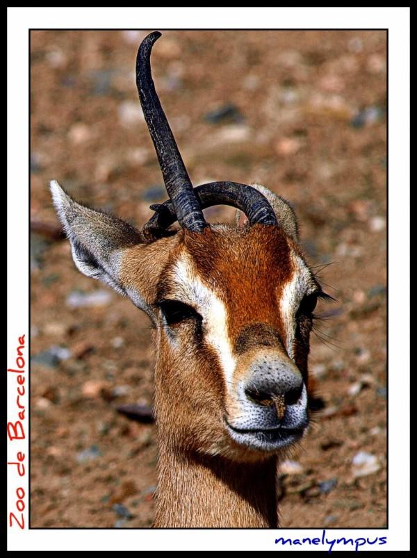 gasela dama / adra gazelle