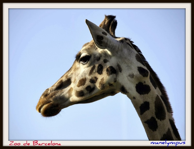 The giraffe