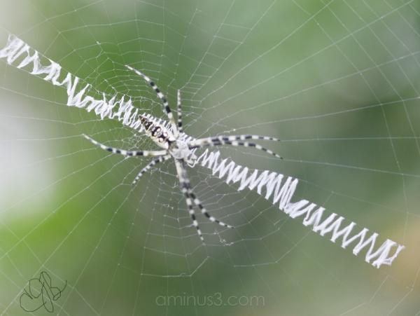 black & white spider on interesting web