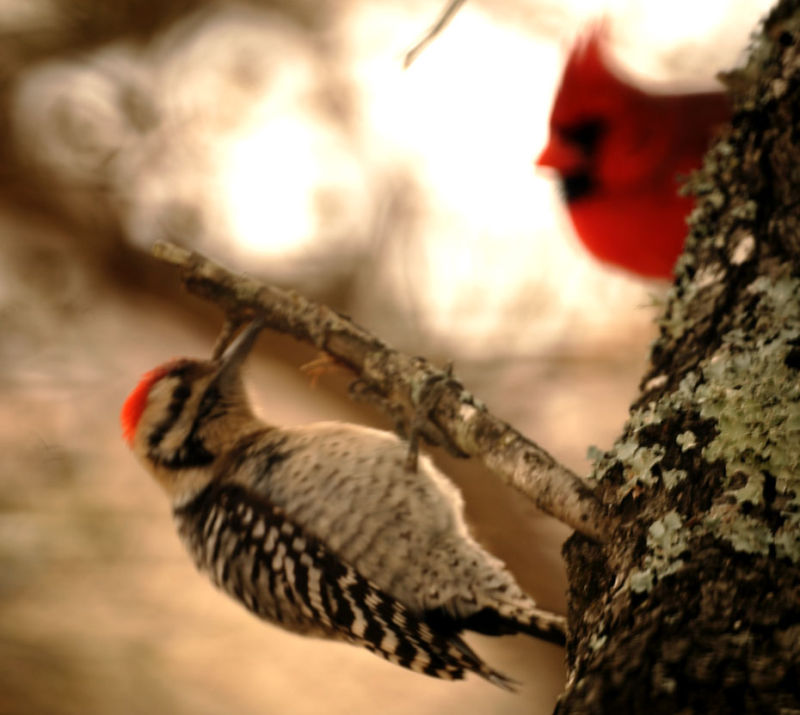 Red head Ladder-back woodpecker