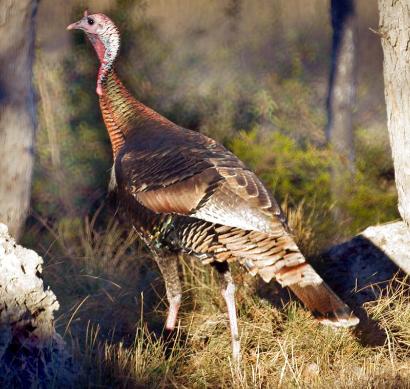 colorful tom turkey