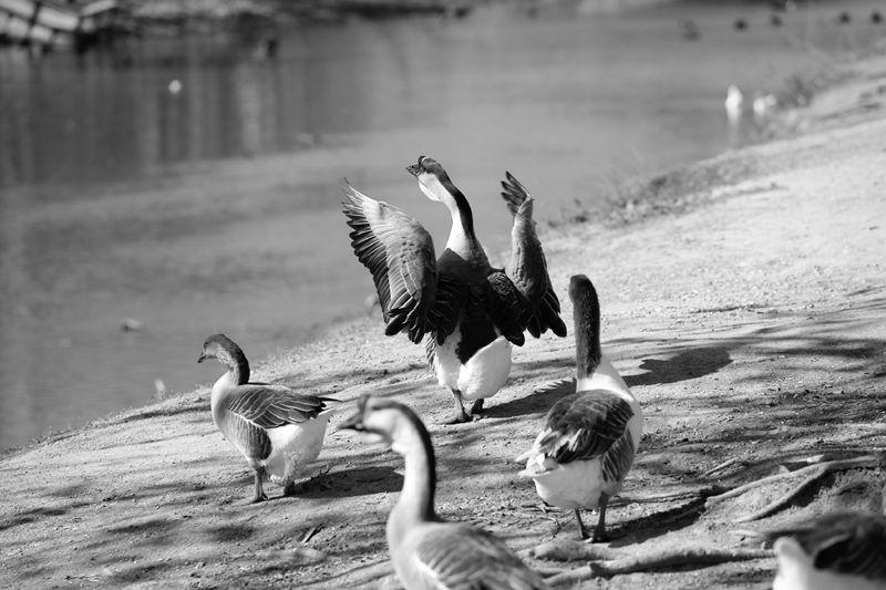 desperate ducks