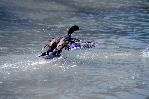 Blue Feathered Duck