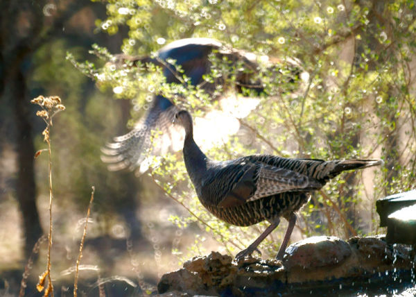 Wild Turkeys ...on the rocks