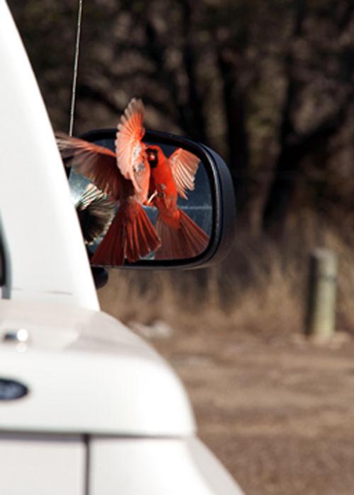 cardinal in mirror