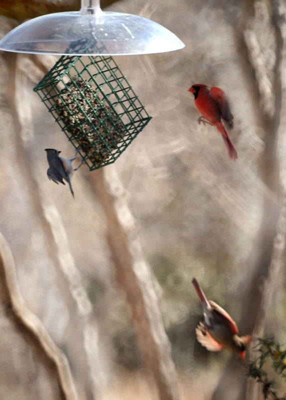 cardinal, titmouse, flying
