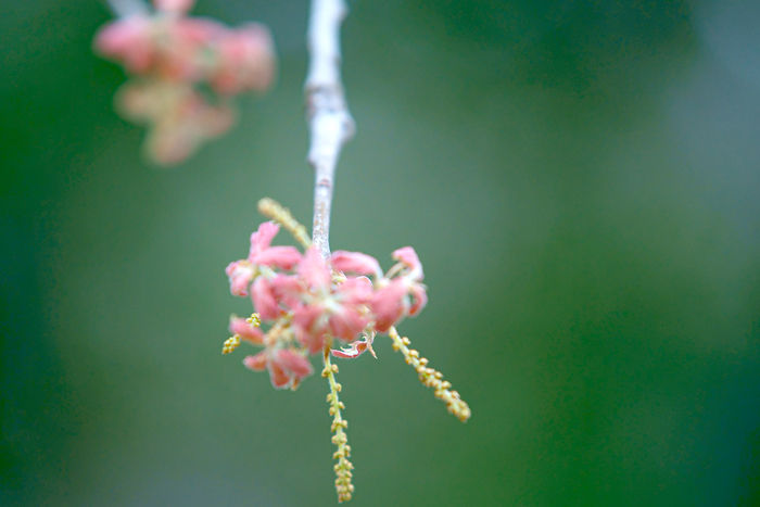 rod oak in blossom
