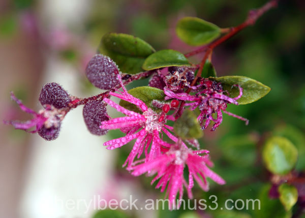 rain drops on pink flowers