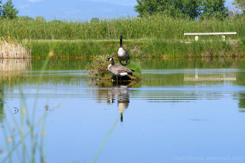 Canadian Geese, St. Vrain S.P., Colorado