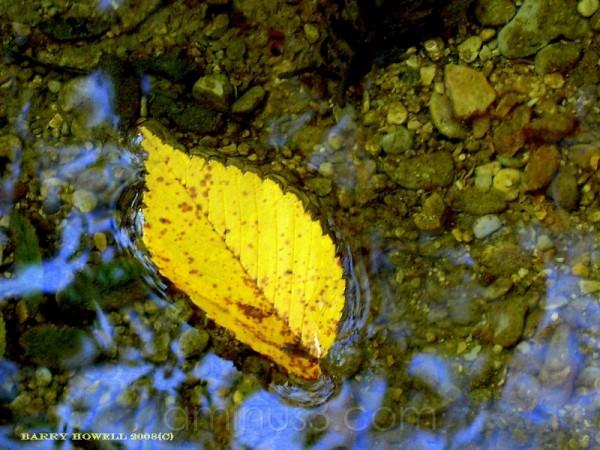 Yellow Leaf in Collin Creek