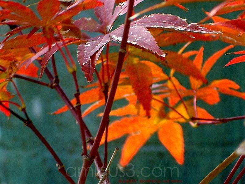 Red Maple Blue Glaze Pot