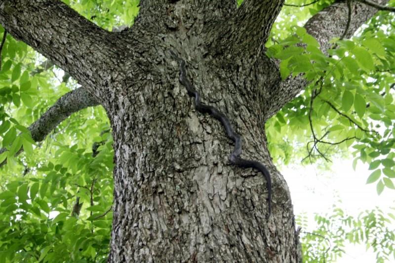 snake climbing a tree (over my hammock)