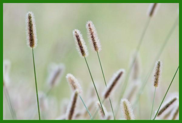 grass in a field