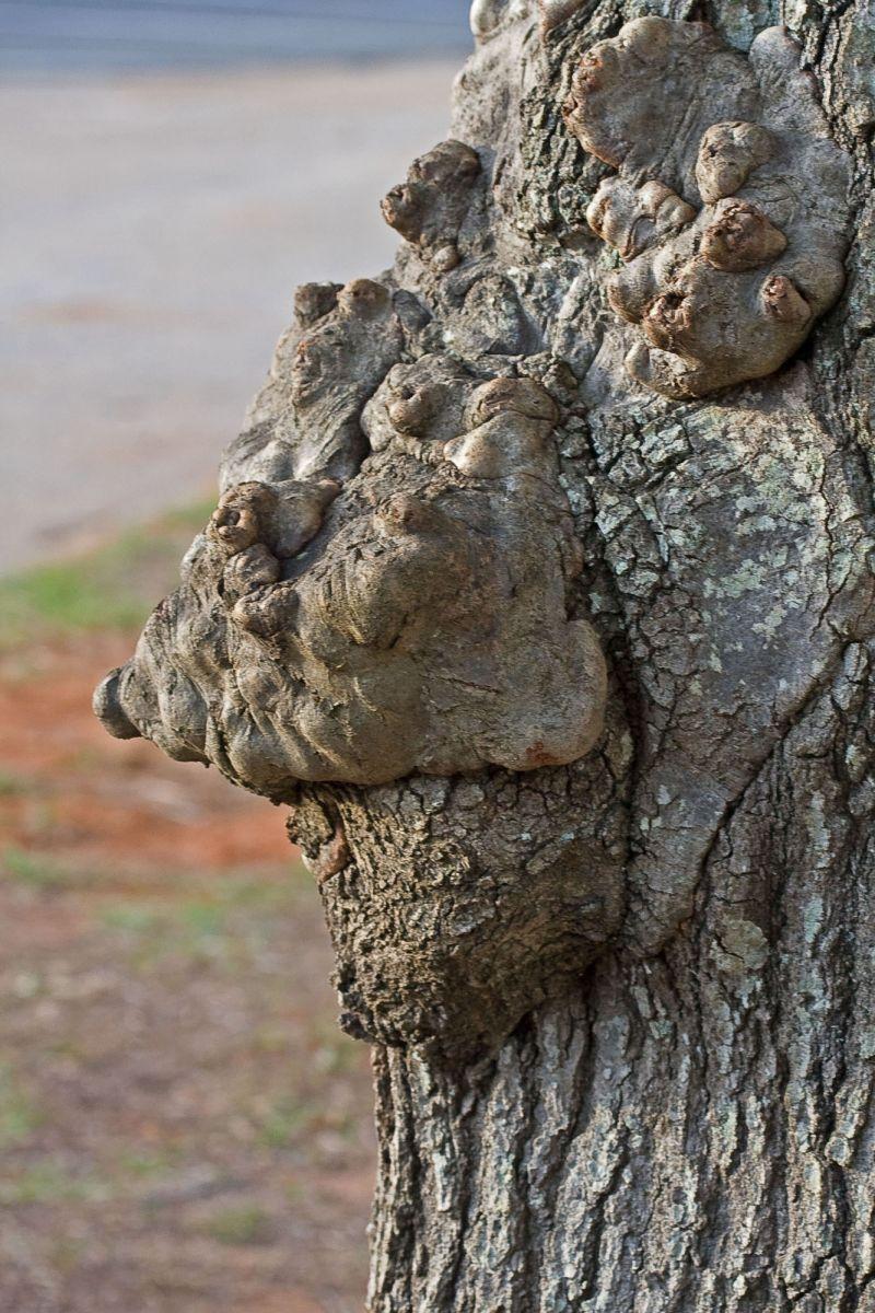 tree wart