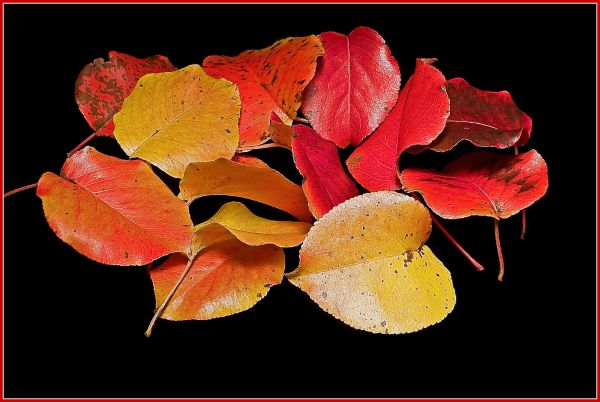 Bradford Pear leaves