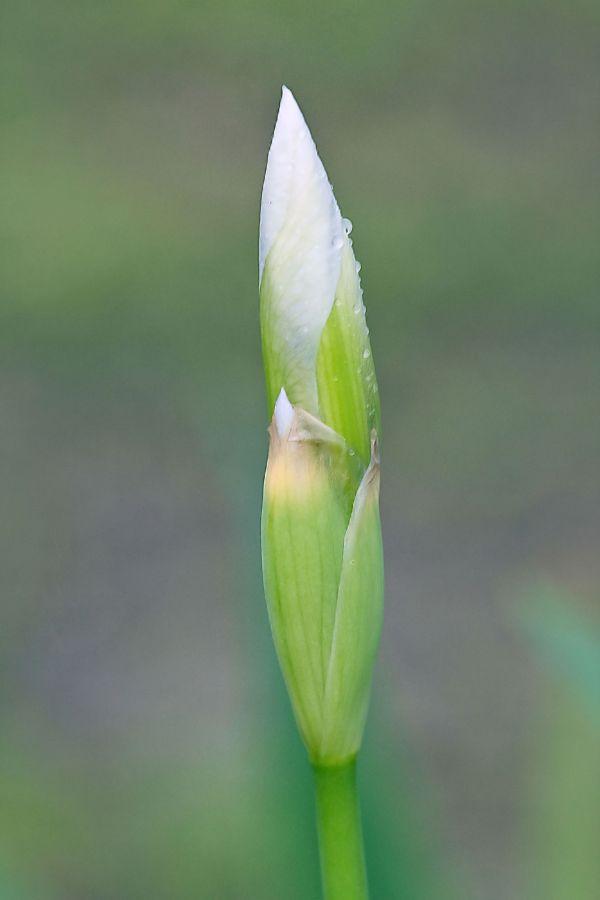 An early Iris bloom
