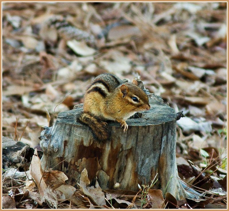 Chipmunk on a stump