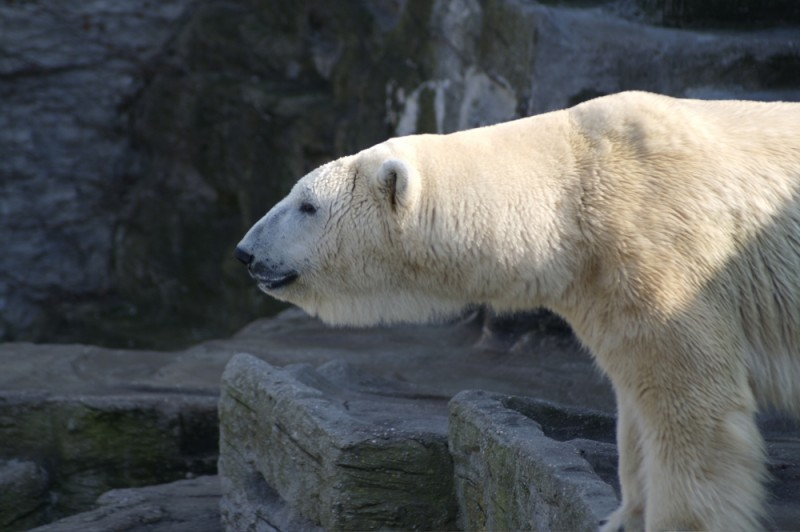 Ice bear at the zoo in Schoenbrunn