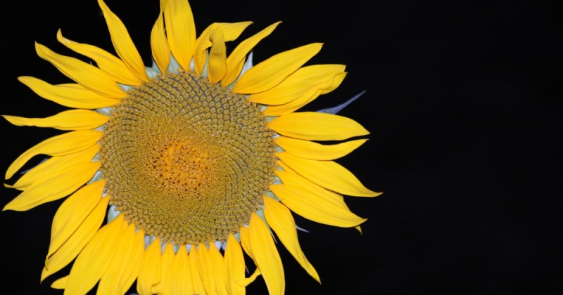 sunflower,night,black