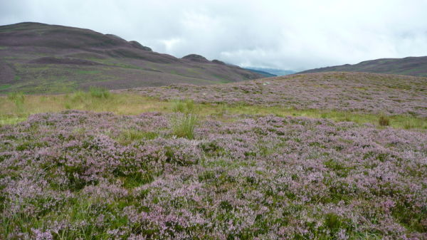 Heather Upon Mt Schiehallion