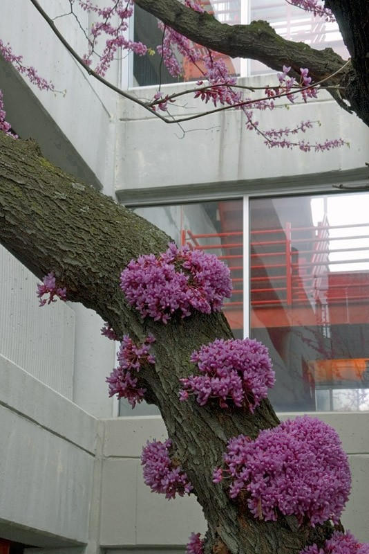 cherry blossoms and parking garage