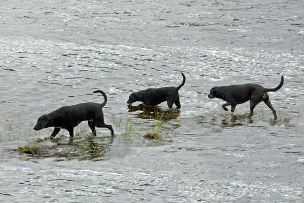 black dogs wading