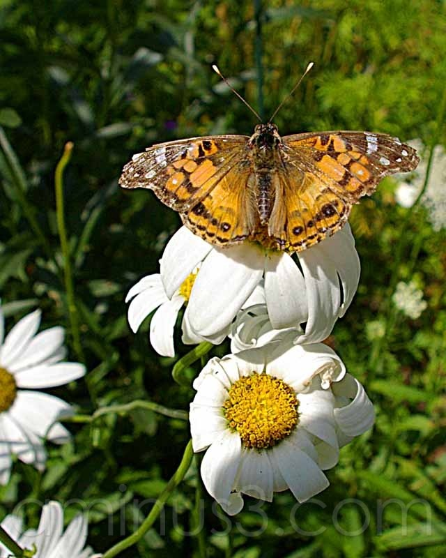 painted lady butterfly and daisies