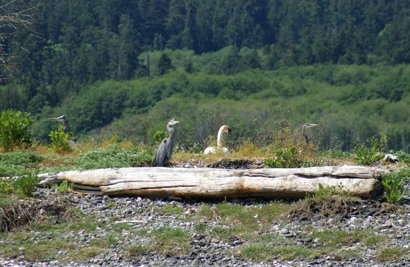 Great blue herons and Mute swan Esquimalt lagoon