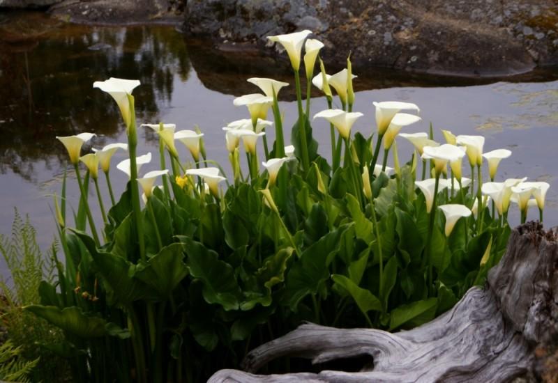 Calla lilies abkhazi garden victoria bc canada plant for Calla pianta